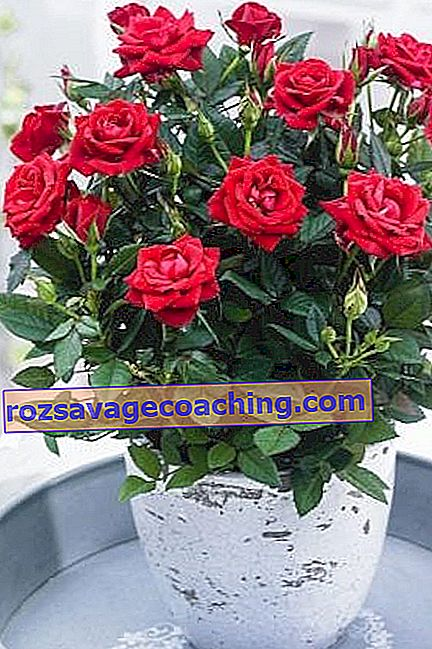 Varieties of indoor roses and caring for them at home