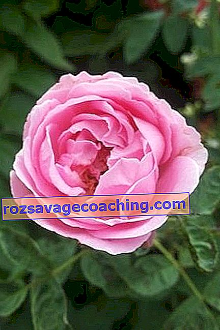 Damask rose: description and cultivation