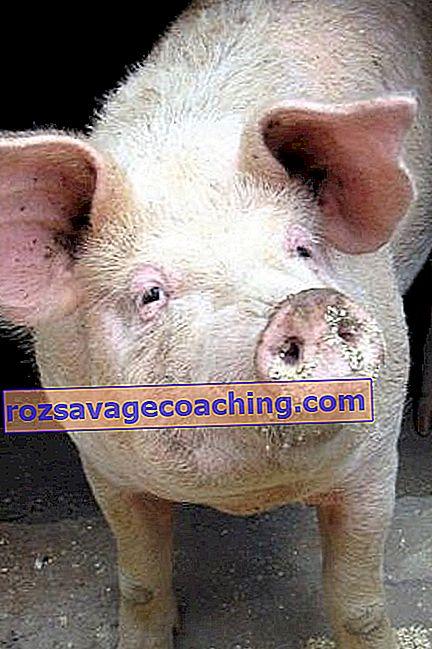 ajuta porcul meu să piardă în greutate