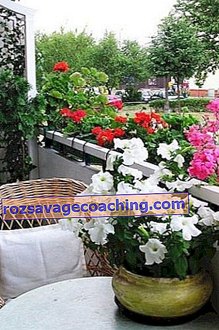 Flowers on the balcony: names, location tips