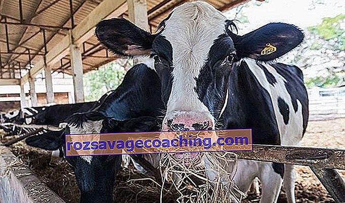 de ce vacile își pierd greutatea