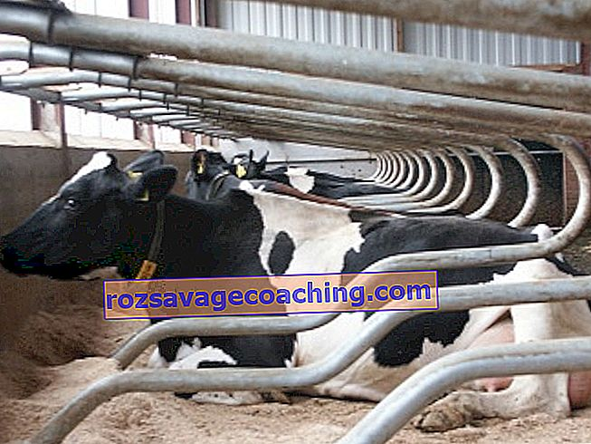 de ce vacile își pierd greutatea după fătă)