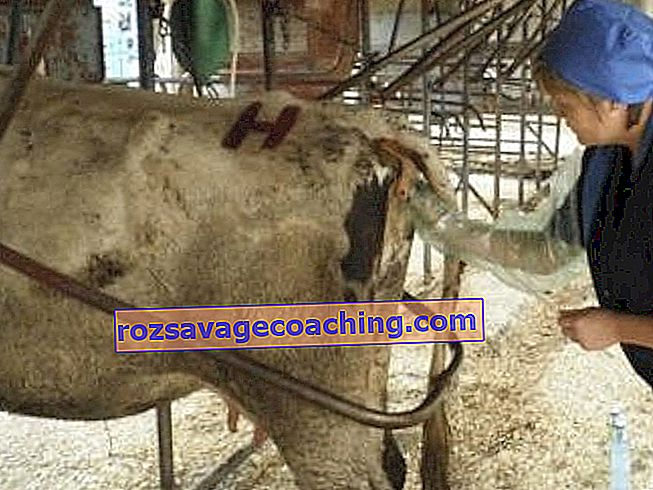 de ce vacile își pierd greutatea după fătă